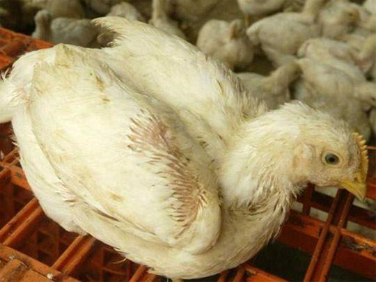 20200730 bird flu