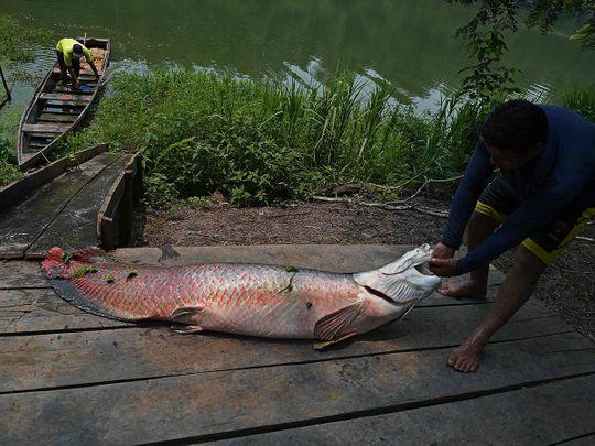 Brazil fish