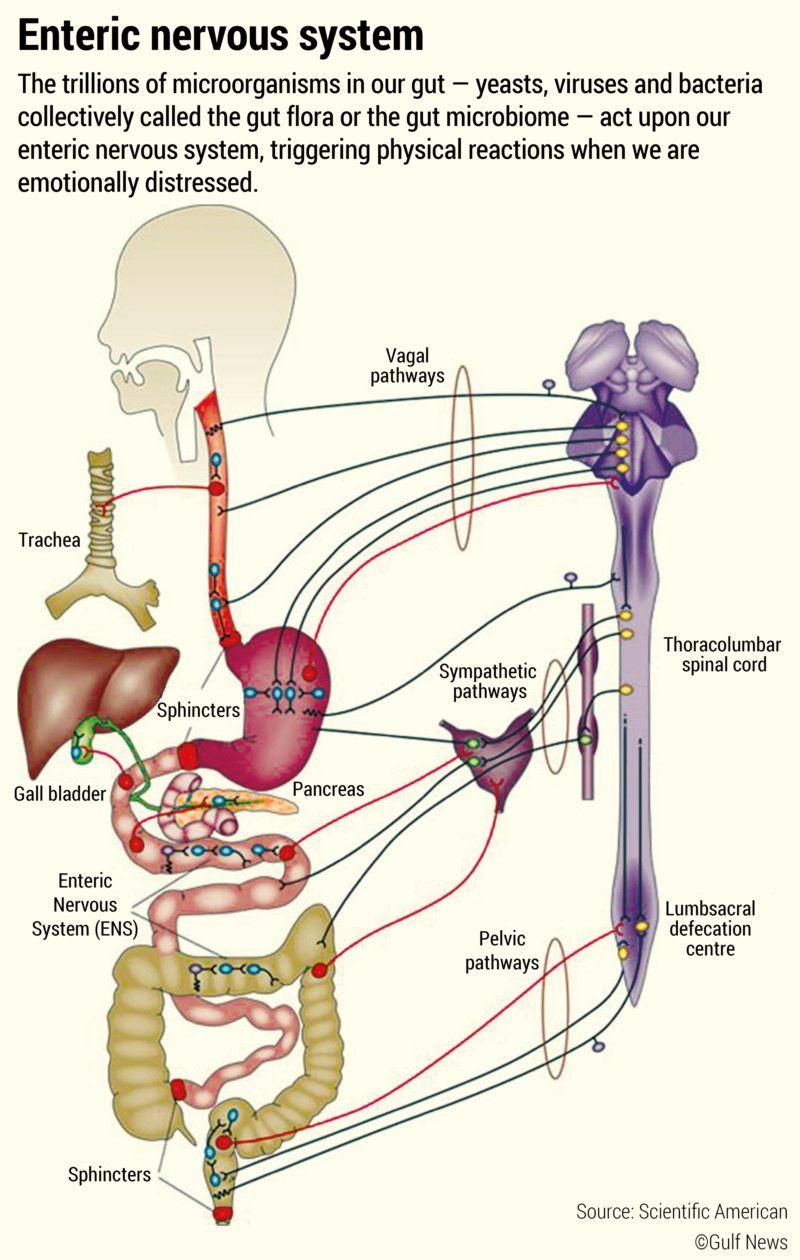 Enteric nervous system-01-1596873598457
