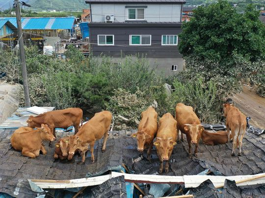 Cows on rooftops