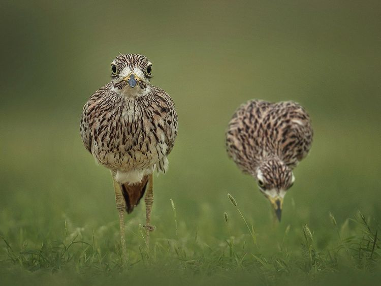 REG 200810 OMAN spotted curlew 1-1597053373633
