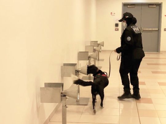 Watch: How K9 dogs detect COVID-19 patients in the UAE