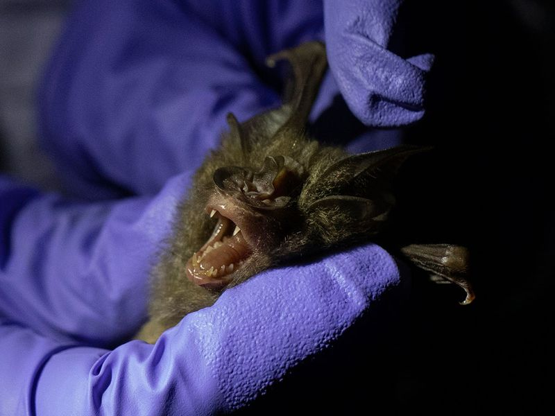 Thailand Bat Catchers