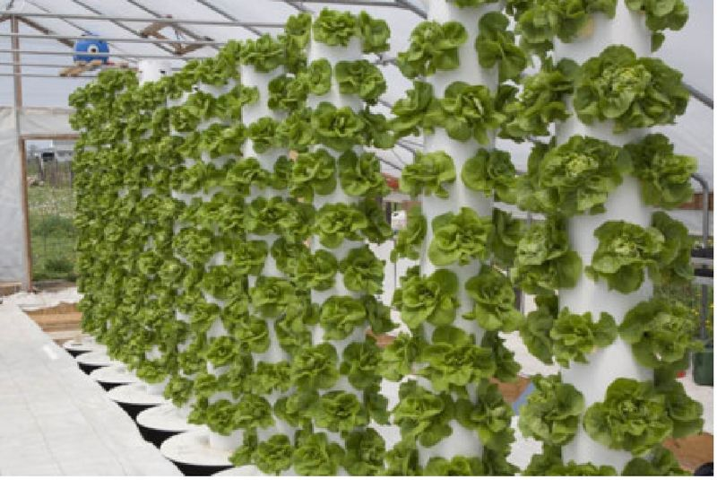 Vertical farming lettuce wall