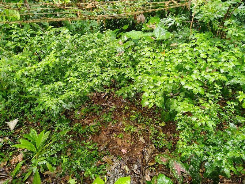A kanthari chilli farm in Kerala