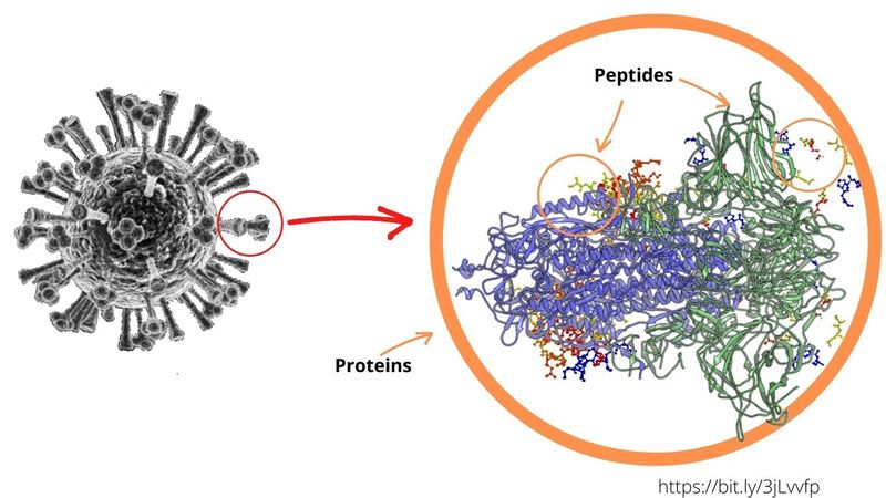 Peptides vs proteins