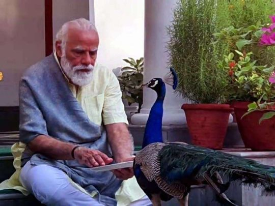Watch: Indian Prime Minister Narendra Modi spends time with peacocks at his  Delhi residence | India – Gulf News