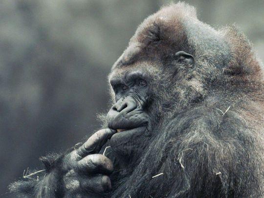 Ivan the gorilla