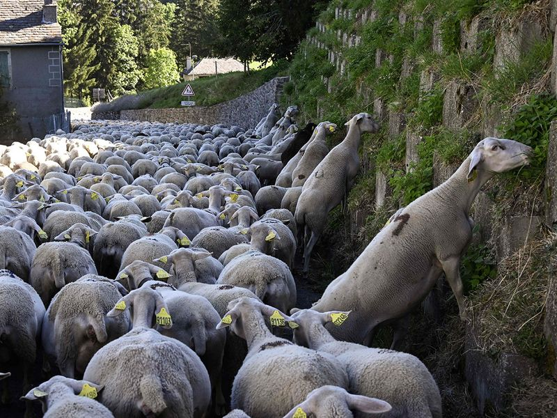 Sheep transhumance gallery