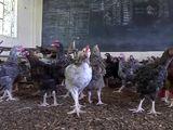 Chicken Kenya classroom