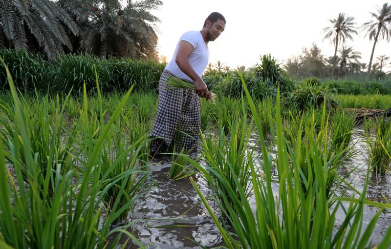 WEB SAUDI RICE FARMING-1600081352330