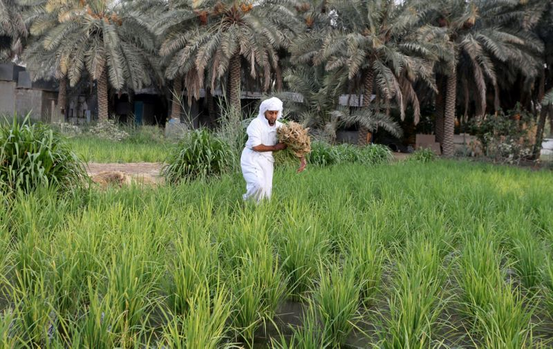 WEB SAUDI RICE FARMING1-1600081316857