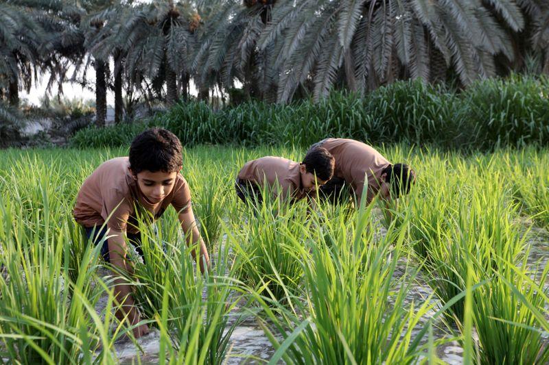 WEB SAUDI RICE FARMING43-1600081325707