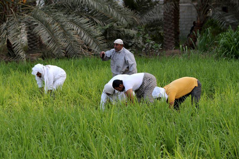 WEB SAUDI RICE FARMING77-1600081333072