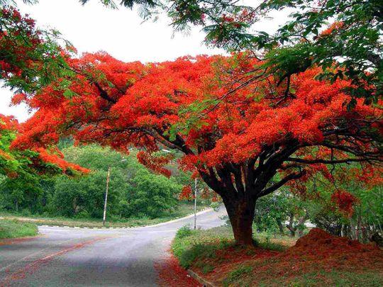 OPN 200916 Gulmohar tree-1600248231739