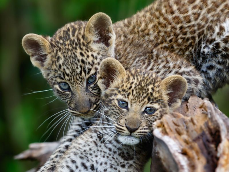 leopard cub cubs generic