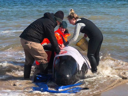 Whale stranded Tasmania Australia