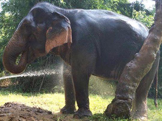 Jasmine the elephant, in Haryana, India
