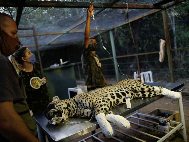 Jaguar burned by wildfires gallery