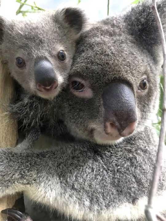 20200930 baby koala
