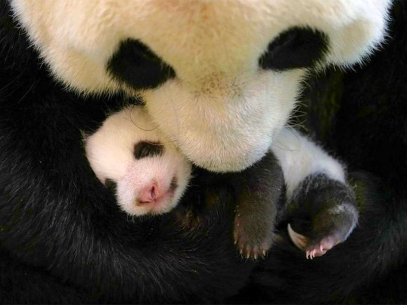 20200930 baby panda