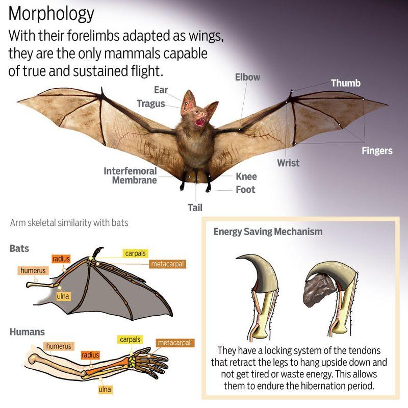 Bats morphology
