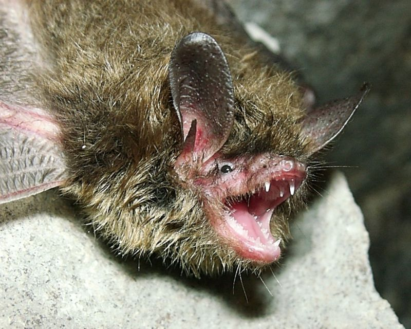 The Northern long-eared bat spends winter hibernating in caves and mines.