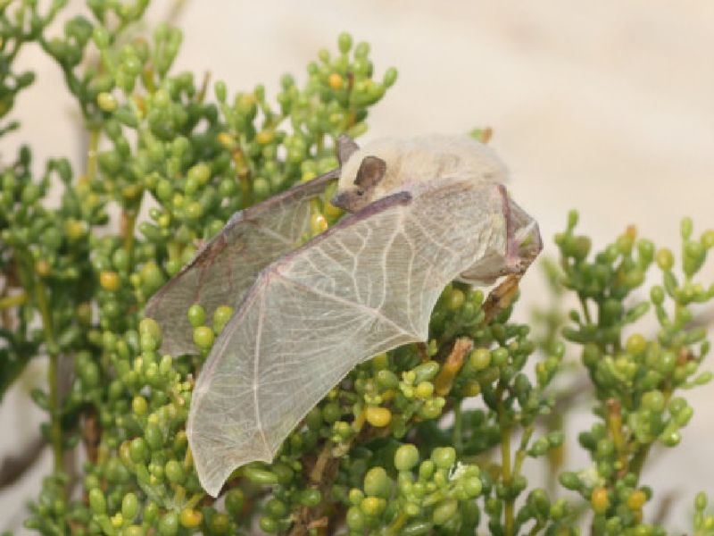 The Sind Batina Serotine bats found in a torpid state under the sand or in plants were about 8cm long.