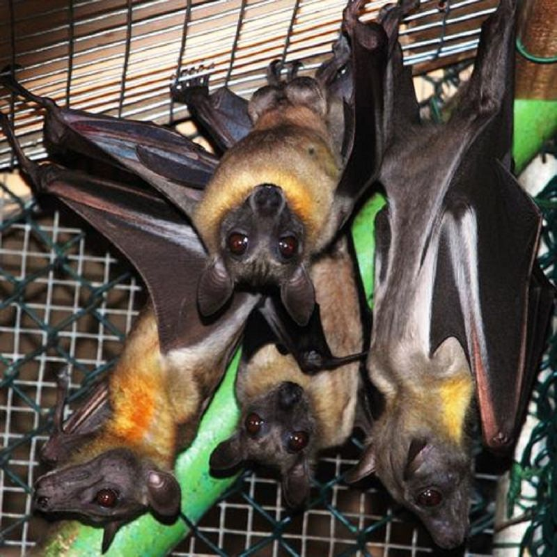UAE fruit bats travel to far off places to get food.