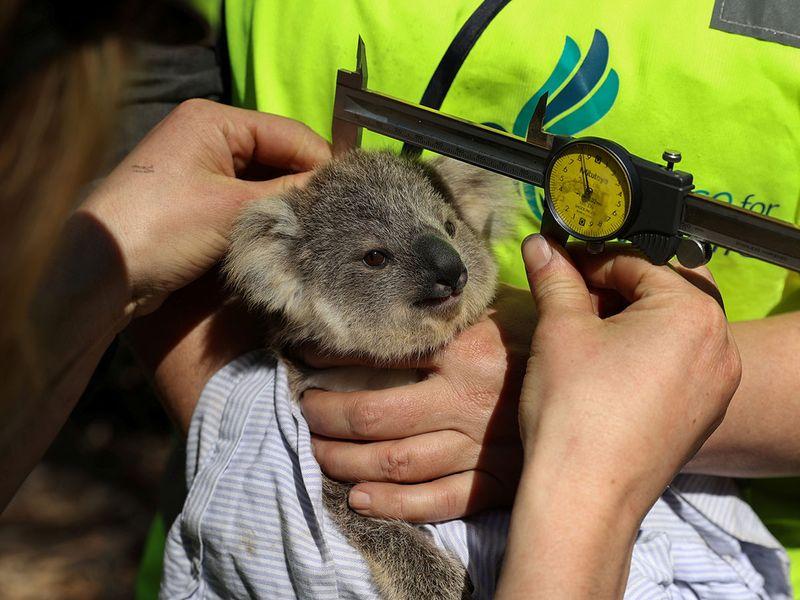 Koalas gallery