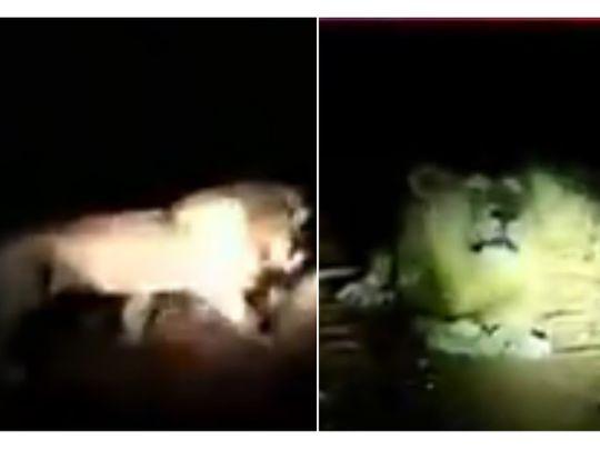 Lion found roaming in Pakistan's Rawalpindi