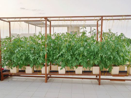 GreenOponics Agricultural Services: Grow your own food at home