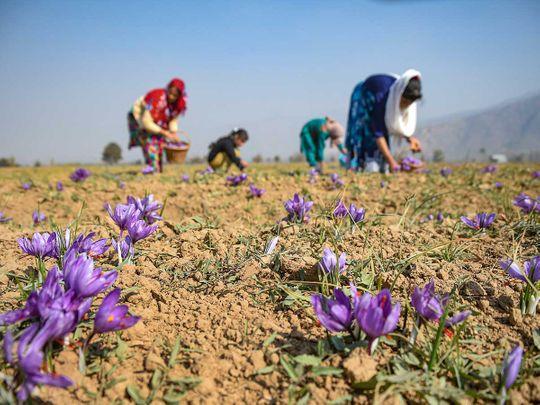 Kashmir family saffron flowers India Pulwama