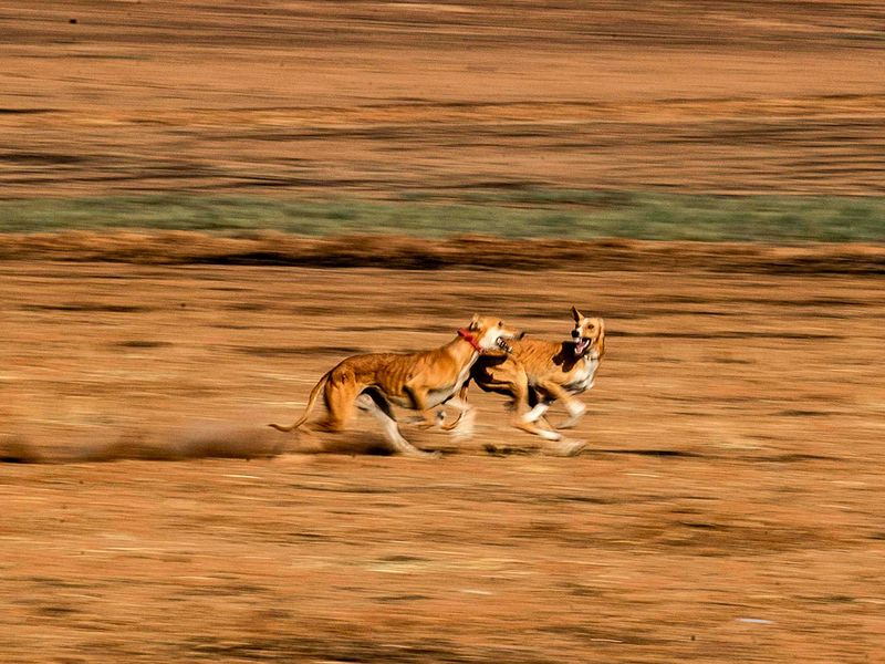 Saluki dogs gallery