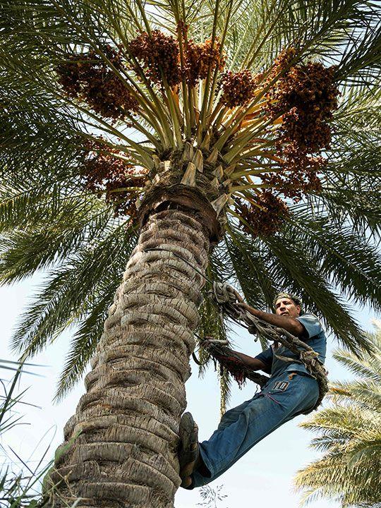 palm climber gallery