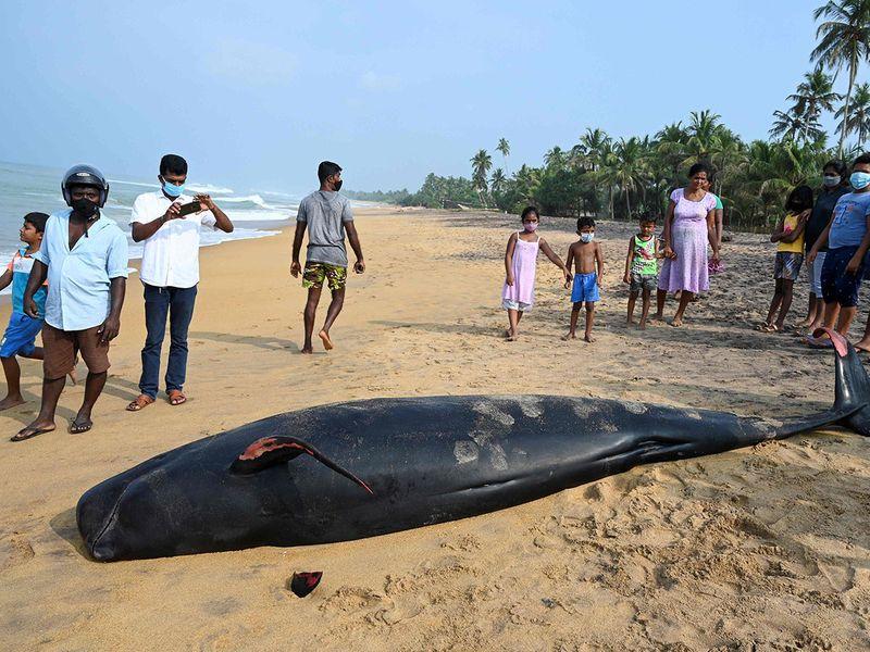 stranded whales Sri Lanka gallery