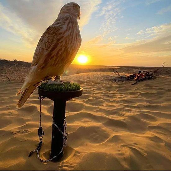 Falcon in the Desert