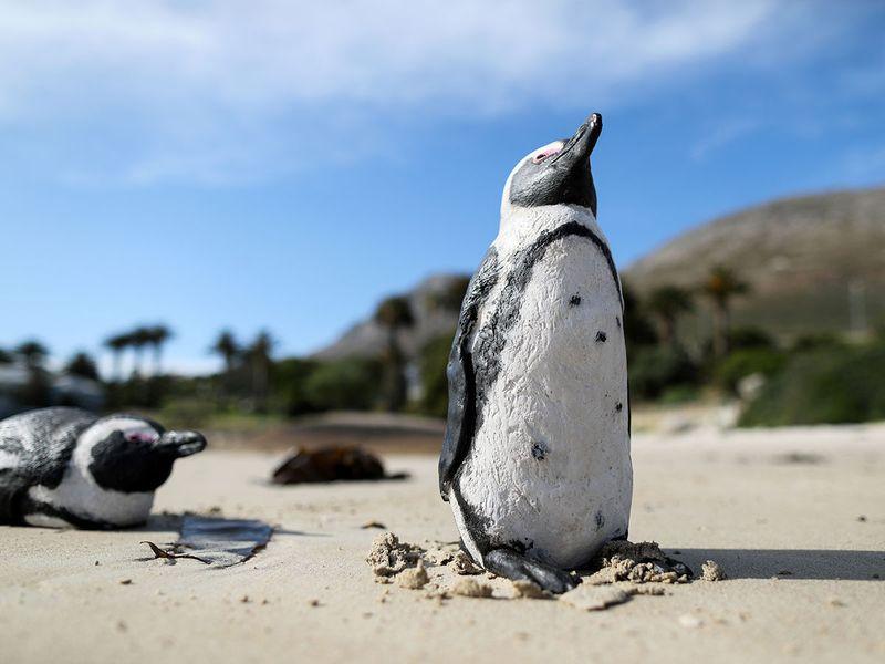 African penguin gallery