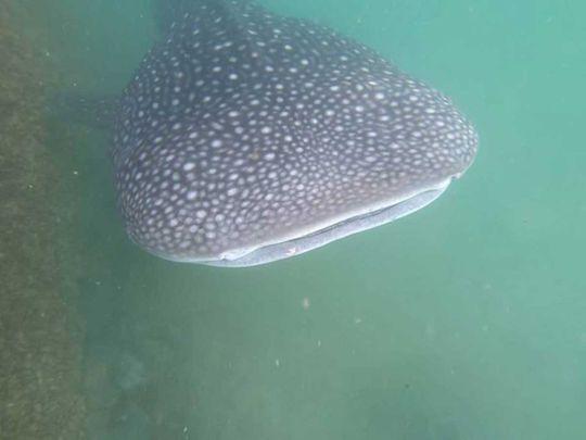 Whale shark in Al Bahia Abu Dhabi
