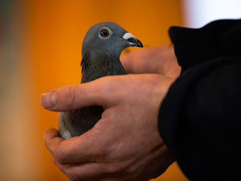 Belgium pigeon gallery