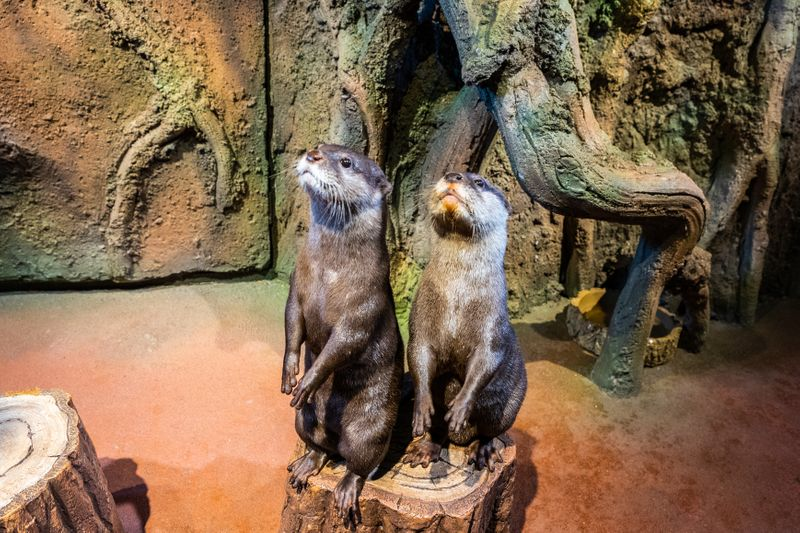 Otters at Dubai Aquarium
