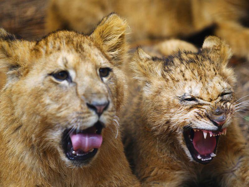 newborn lion cubs gallery