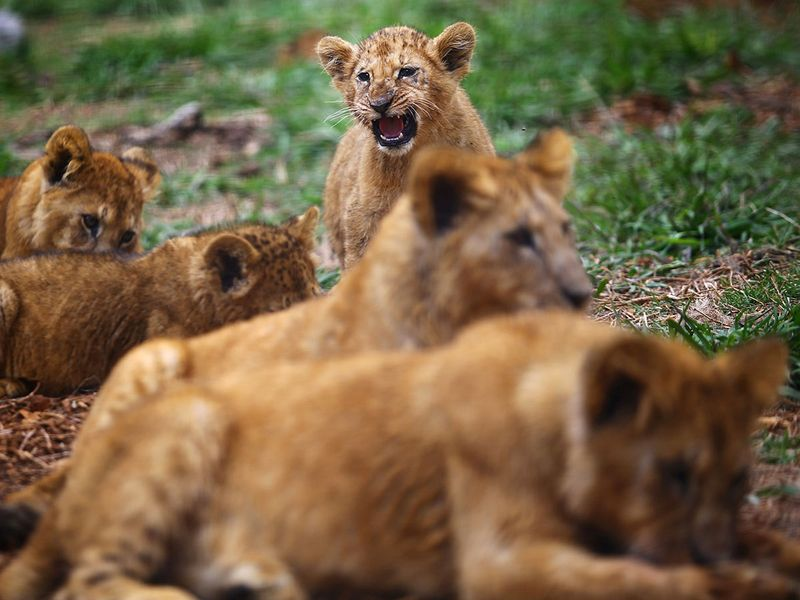 newborn lion cubs gallery