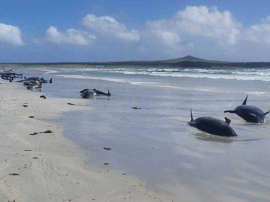 Whales new Zealand beaching