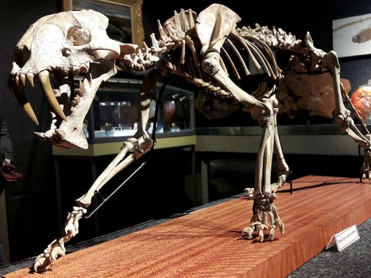 The skeleton of a 37 million year-old saber-toothed tiger