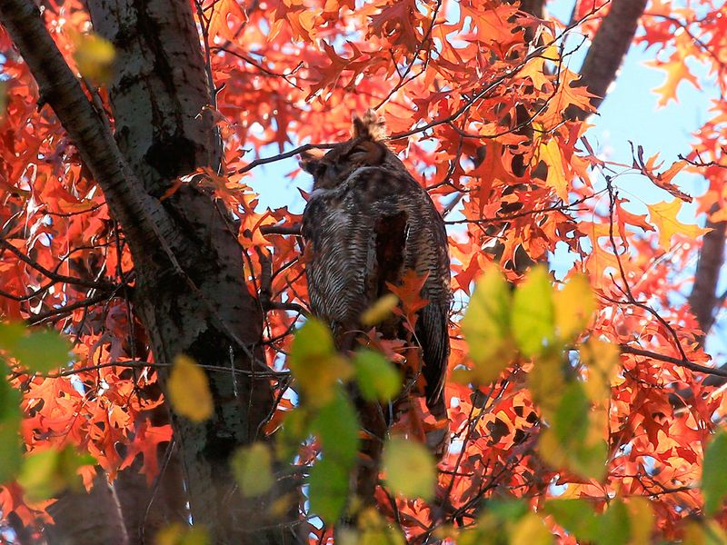 20201202 barred owl 2