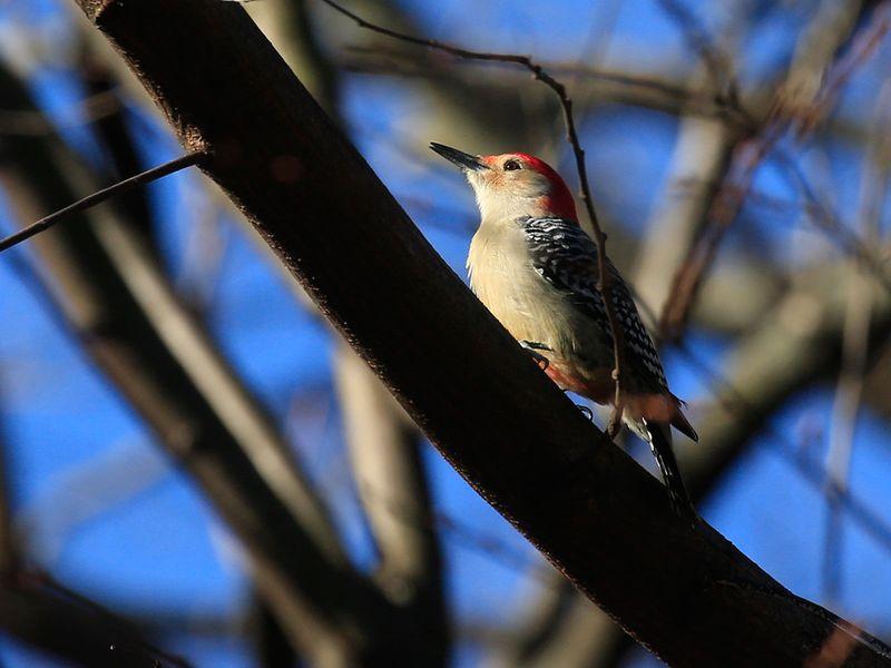 20201202 red-bellied woodpecker