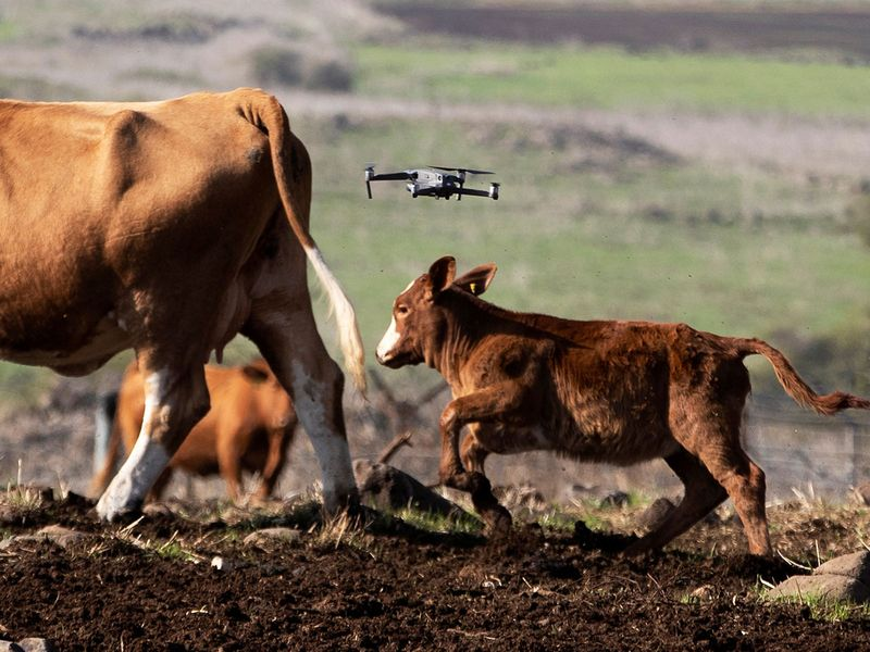 Cows gather as a drone flies above them, herding and observing them, as part of a method developed by Israeli firm BeeFree Agro, at a ranch near Katzrin in the Golan Heights.