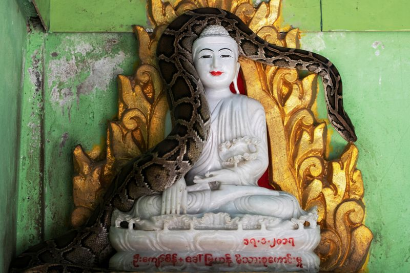 Copy of 2020-12-04T010659Z_714776369_RC21GK9QJ7TO_RTRMADP_3_MYANMAR-MONK-SNAKES-1607065189212