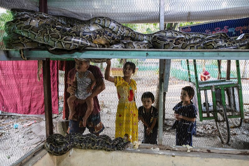 Copy of 2020-12-04T010950Z_457718511_RC21GK9WSAPQ_RTRMADP_3_MYANMAR-MONK-SNAKES-1607065217950